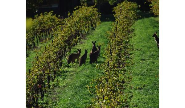 Kangaroos in our vineyards